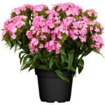 BayWa Bau- & Gartenmärkte Bartnelke, rosa