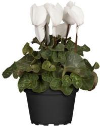 Alpenveilchen, weiß, 11 cm Topf
