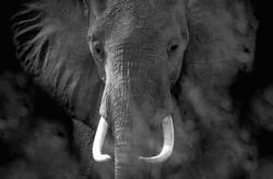Keilrahmenbild ca. 116x76cm Elefant