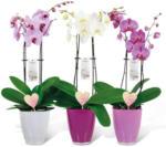 Hagebau Lieb Markt Valentins-Orchidee - bis 29.02.2020