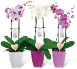 Valentins-Orchidee