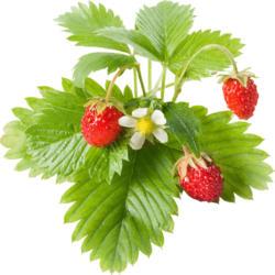 Click & Grow Wilde Erdbeere