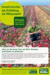 Pflanzen-Kölle Gartencenter Frisch aus der Gärtnerei - bis 29.04.2020