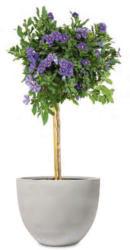 Enzianbaum Stämmchen
