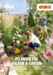 OBI Pflanzen für Balkon & Garten - bis 09.05.2020
