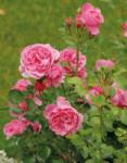 Ihr Gärtner Starkl Rosen - viele Sorten - bis 18.06.2020