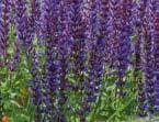 Ihr Gärtner Starkl Salbei diverse Farben - bis 18.06.2020