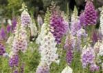 Ihr Gärtner Starkl Fingerhut in Sorten - bis 18.06.2020