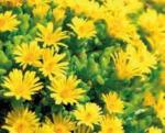 Ihr Gärtner Starkl Mittagsblume - bis 18.06.2020