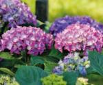 Ihr Gärtner Starkl Hortensie Deep Purple Dance und Rembrandt-Mix - bis 18.06.2020