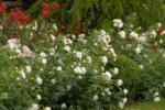 Ihr Gärtner Starkl Bodendeckerrose 'Aspirin'