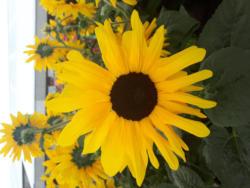 Sonnenblume 'SunFinity' - Helianthus