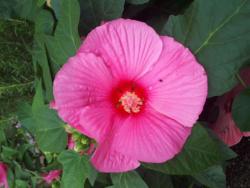 Riesenhibiscus - Hibiscus moscheutos