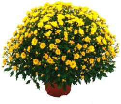 Bauern-Chrysanthemen Büsche
