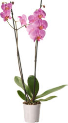 Orchidee Phalaenopsis, Niederlande, 1 Stück, 2 Rispen