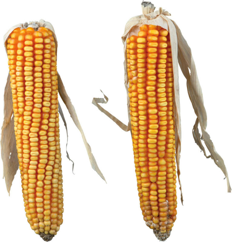 Épis de maïs 2 pièces