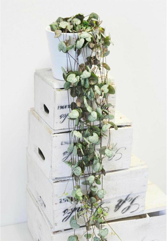 "Leuchterblume ""Ceropegia woodii"""