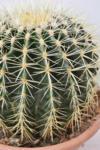 """HELLWEG Baumarkt Kaktus """"Schwiegermuttersitz"""" (Goldkugelkaktus) 28-30 cm"""