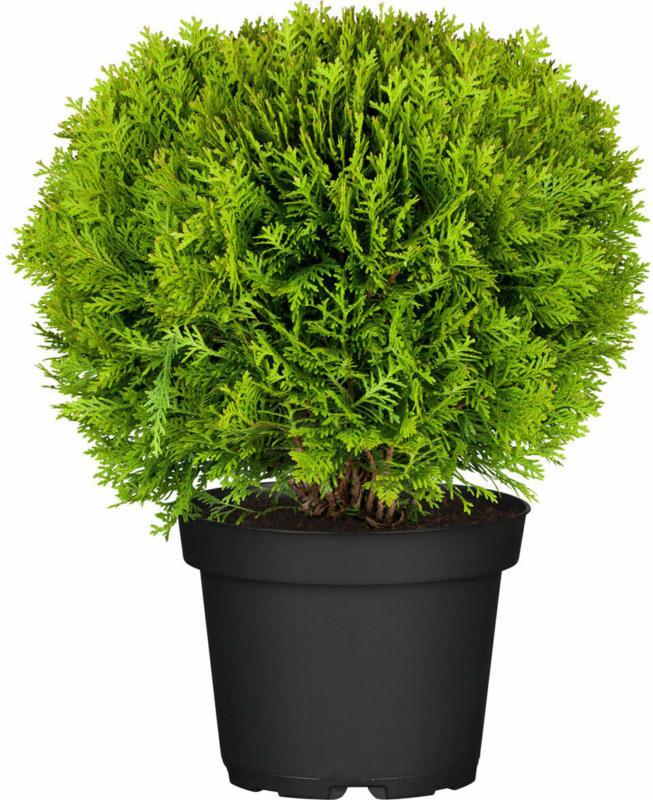 "Lebensbaum ""Danica"" 15-20 cm, 17 cm Topf"