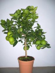 "Orangenbaum ""Italienische Orange"""