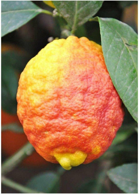 "Zitronenbaum (Rote Zitrone) ""Rosso"""
