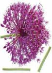 mömax Spittal a. d. Drau Dekosticker Onion Flower in  Violett